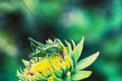 Great Green Bush-cricket. On a flower Royalty Free Stock Photos