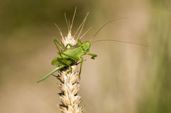 Great Green Bush-Cricket Stock Photo