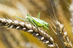Great Green Bush-Cricket Stock Images