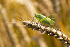 Great Green Bush-Cricket Royalty Free Stock Photography