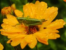 Great Green Bush-cricket on Marigold. Great green bush-cricket during laying eggs on wet marigold shortly after rain Stock Photo