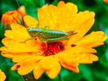 Great Green Bush-cricket on marigold. Great green bush-cricket - Tettigonia viridissima during laying eggs on wet marigold. Photo taken shortly after rain in Royalty Free Stock Images