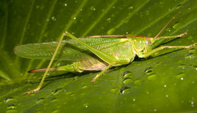 Great green bush-cricket / Tettigonia viridissima Stock Image
