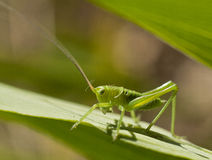 Great Green Bush-Cricket Royalty Free Stock Photos