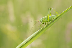 Great Green Bush-cricket, Tettigonia viridissima Royalty Free Stock Image