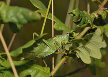 Great Green Bush-Cricket Royalty Free Stock Images