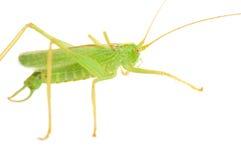 Great Green Bush-Cricket Stock Photo