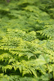 Great green bush of fern in the forest.  Royalty Free Stock Photos