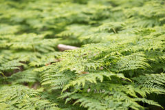 Great green bush of fern in the forest.  Stock Photography