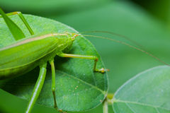 Great green bushcricket Royalty Free Stock Photography