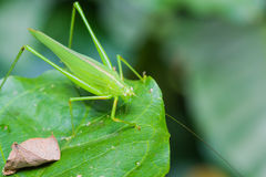 Great green bushcricket Stock Image