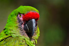 Great Green Macaw stock photography