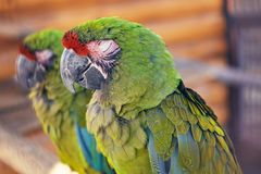 Great green macaw, Ara ambiguus, also known as Buffon`s macaw. Endangered parrot, Great green macaw, Ara ambiguus, also known as Buffon`s macaw Stock Photo