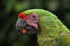 Great green macaw (Ara ambiguus). Royalty Free Stock Image