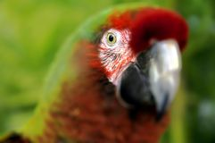 The Great Green Macaw Royalty Free Stock Photography