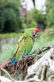 Great Green Macaw. Eating an walnut Stock Images