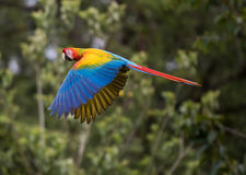 Great Green Macaw Stock Photos