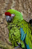 Great Green Macaw Royalty Free Stock Image