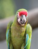 Great green macaw portrait Royalty Free Stock Photo