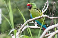 Great Green Macaw. Great Green Macaw sitting on branch Stock Images
