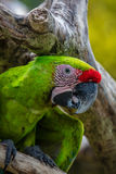 Great green macaw on a tree brunch Royalty Free Stock Images