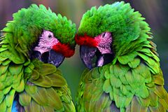 Great green military macaw Ara militaris mexicana portrait. stock photos