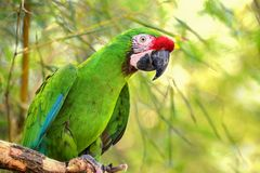 Great green military macaw Ara militaris mexicana portrait. Live in south america. Popular green military parrot on the green, nature background. Photo of the royalty free stock image