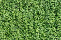 The great green wall of vineyard. Stock Photo