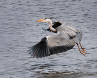 Great Grey Heron (Ardea cinerea) Flies Across Pond. Motion blur on wings/panning on water, focus on eye Royalty Free Stock Image