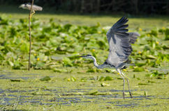 Great grey heron (Ardea cinerea) in flight Royalty Free Stock Images