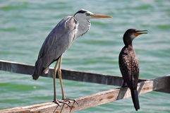 Great Grey Heron  and Great Cormorant Royalty Free Stock Photos