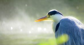 Great grey heron portrait. Portrait of a great gray heron on the shore of a pond stock images