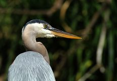 The Great Grey Heron Stock Photos