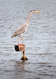 Great Grey Heron Stands on Metal Light Post. Great Grey Heron (Ardea cinerea) Stands on Metal Light Post in body of water - hunting for fish/frogs Royalty Free Stock Photography