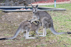 Great Grey Kangaroo, Australia Stock Photo
