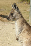 Great Grey Kangaroo, Australia Royalty Free Stock Photo