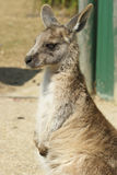 Great Grey Kangaroo, Australia Stock Photography