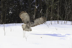 Great Grey Ow in flight Royalty Free Stock Images