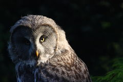 Great grey owl. Half lit royalty free stock images