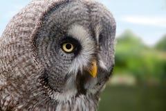 Great Grey Owl. Or Lapland Owl or Strix Nebulosa stock photos