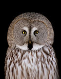 Great Grey Owl. (strix nebulosa) isolated on black Royalty Free Stock Images