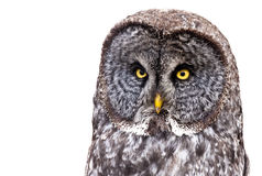 Free Great Grey Owl Stock Photography - 13633232