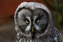 Great Grey Owl. (Strix Nebulosa) looking at viewer Royalty Free Stock Photo