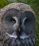 Great grey owl. Great grey owl (Strix nebulosa stock images