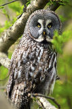 Great Grey Owl. Wild Great Grey Owl in the wild Royalty Free Stock Photos