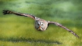 Great grey owl. In flight Royalty Free Stock Photography