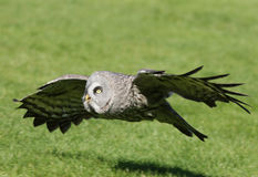 Great Grey Owl. A Great Grey Owl in flight hunting Stock Photography