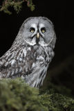 Great Grey Owl. A captive Great grey Owl,Strix nebulosa,sitting in a tree royalty free stock image