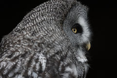 Great Grey Owl. A captive Great grey Owl,Strix nebulosa,head and sholders in profile stock image