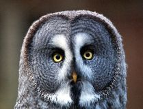 Great grey Owl. A watchful Great Grey Owl Royalty Free Stock Photos